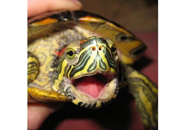 Черепаха низя сексе