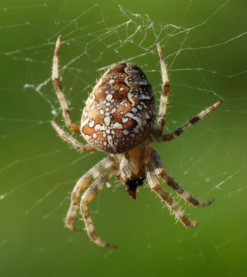 Про паука крестовика животные, пауки, факты