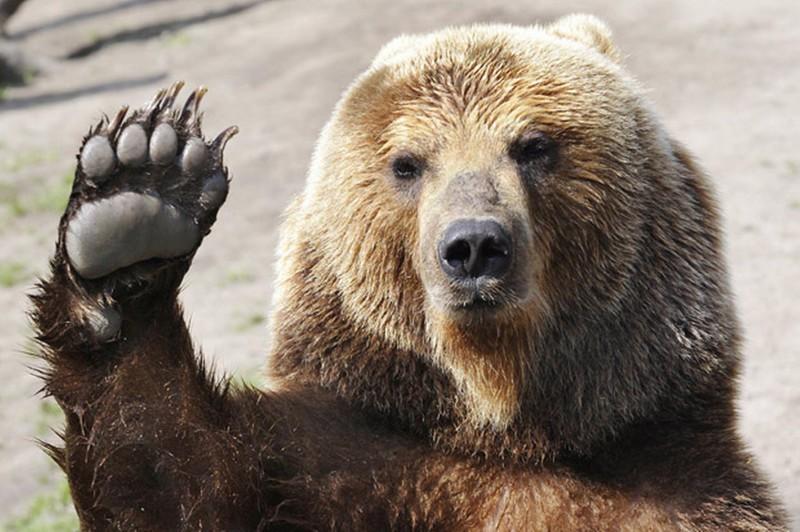 Картинки по запросу медведь