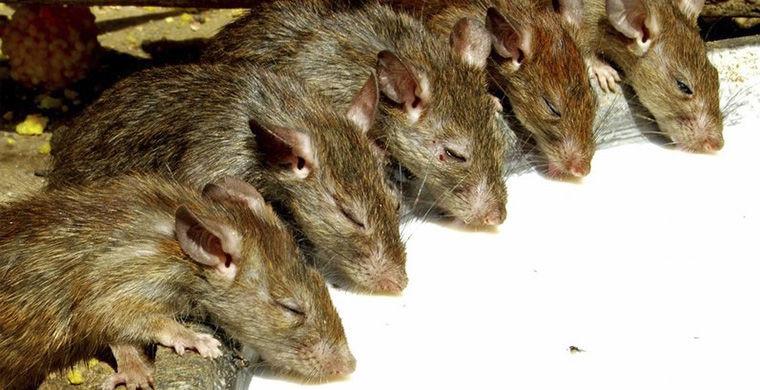 «Остров» крыс животные, остров, природа