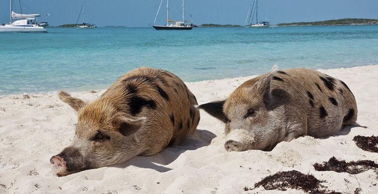 Поросячий остров животные, остров, природа