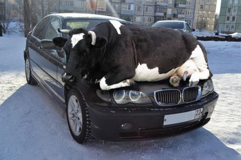 Корова на капоте. интересное, фейки, фотографии
