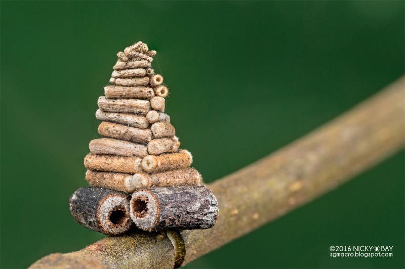 Гусеница мотылька собирает и пилит маленькие палочки, чтобы построить сложные спирали срубов архитектор, животные, факты