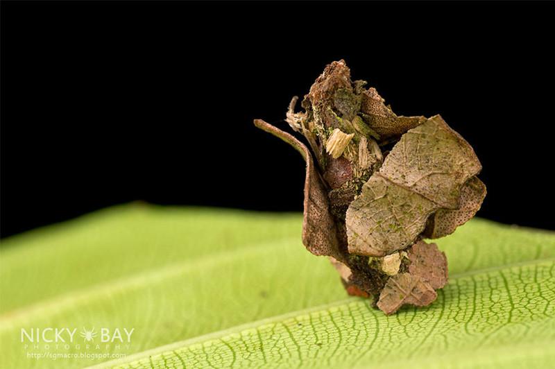 Джунгли-палатка называется так потому, что её строят гусеницы из кусочков листьев в форме обычной палатки архитектор, животные, факты