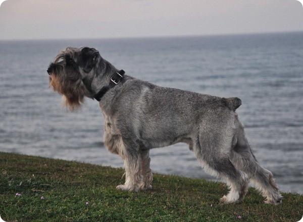бородатая охотничья собака