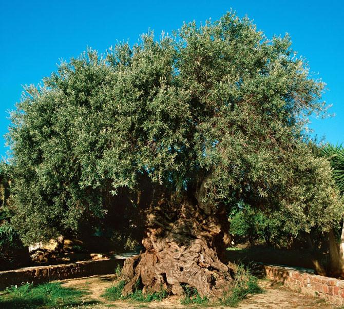 Оливковое дерево деревья, история, факты