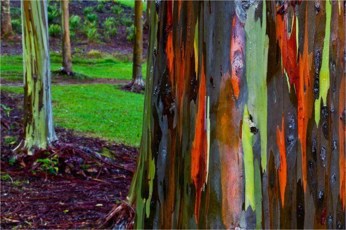 Радужный эвкалипт деревья, история, факты