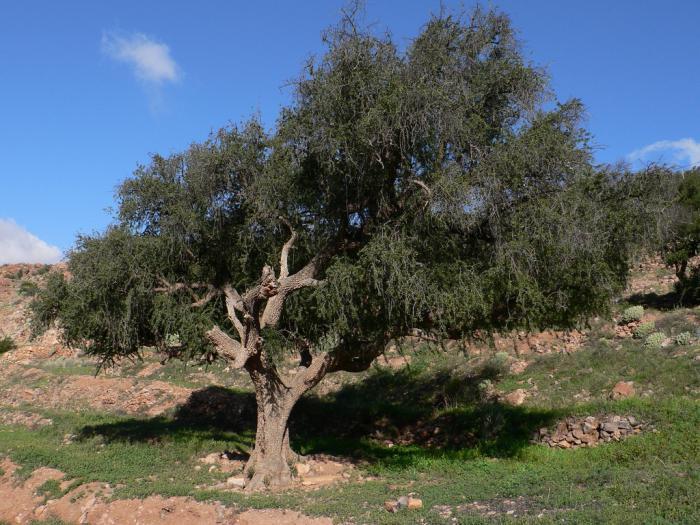 Нефтяное дерево деревья, история, факты