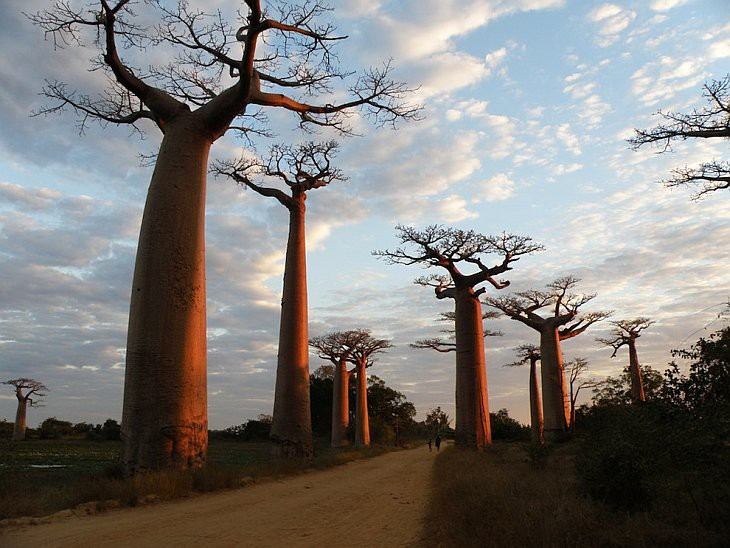 Баобаб - дерево, растущее вверх ногами деревья, история, факты