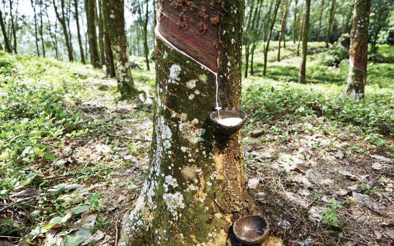 Молочное дерево деревья, история, факты