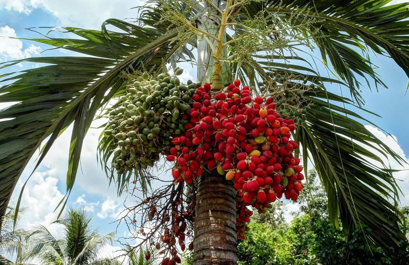 Персиковая пальма деревья, история, факты