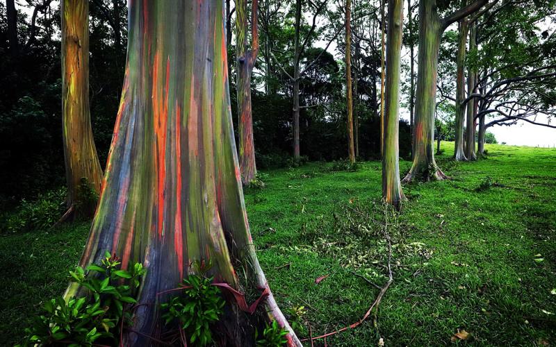 Удивительные деревья нашей планеты деревья, история, факты