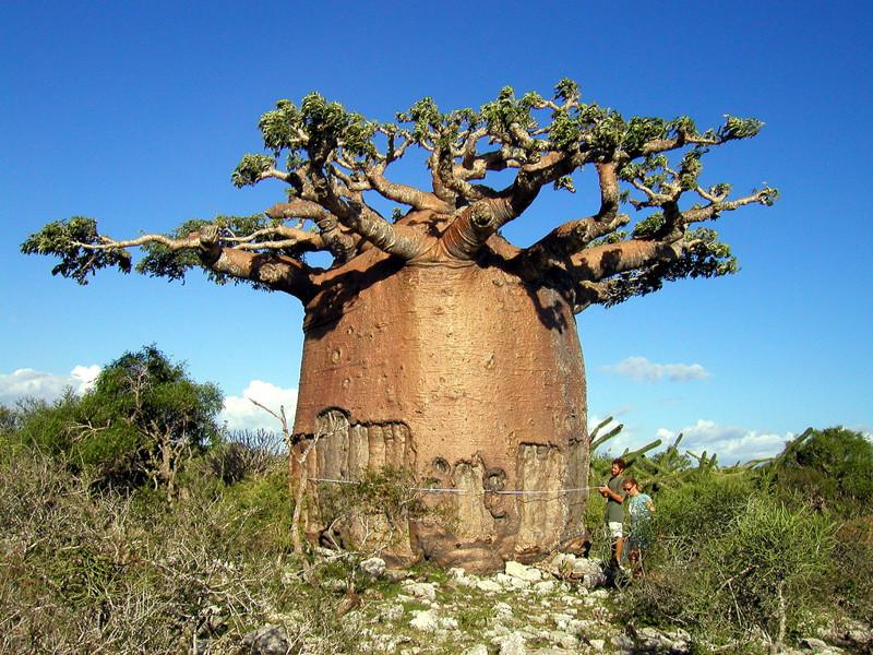 Баобаб-чайник деревья, история, факты