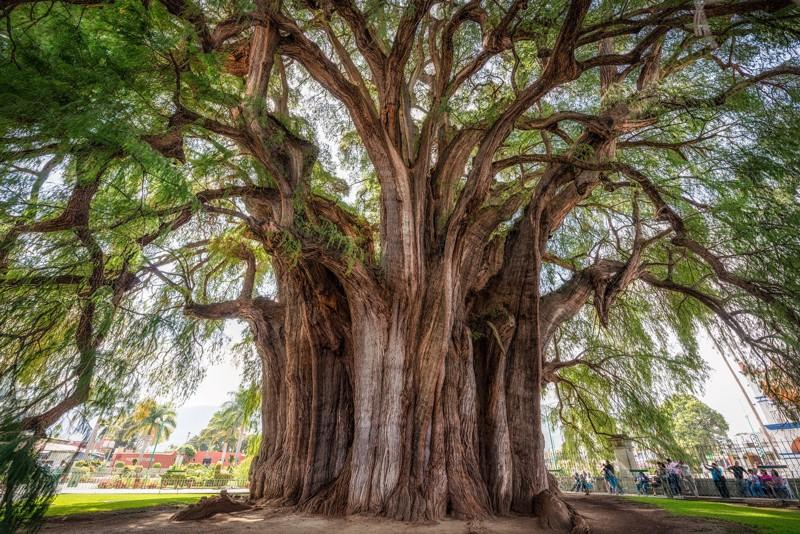 Туле деревья, история, факты