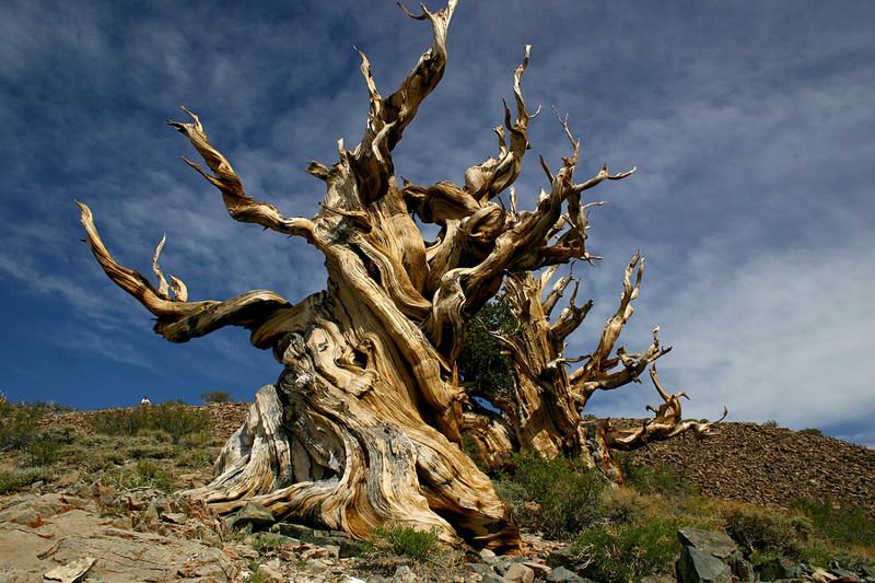 Сосна Мафусаил деревья, история, факты