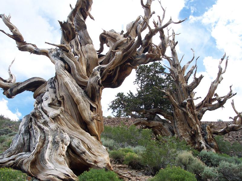 Оно кажется мертвым, но вместе с тем каждая его ветка полна жизни. деревья, история, факты