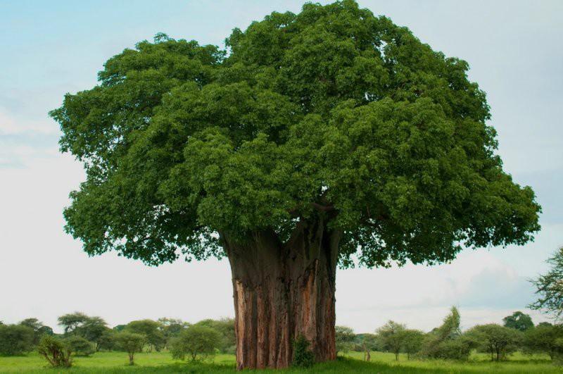 Баобаб деревья, история, факты