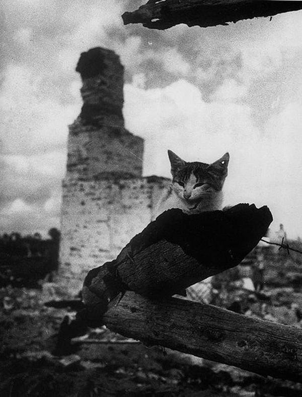 Картинки по запросу Коты во время войны