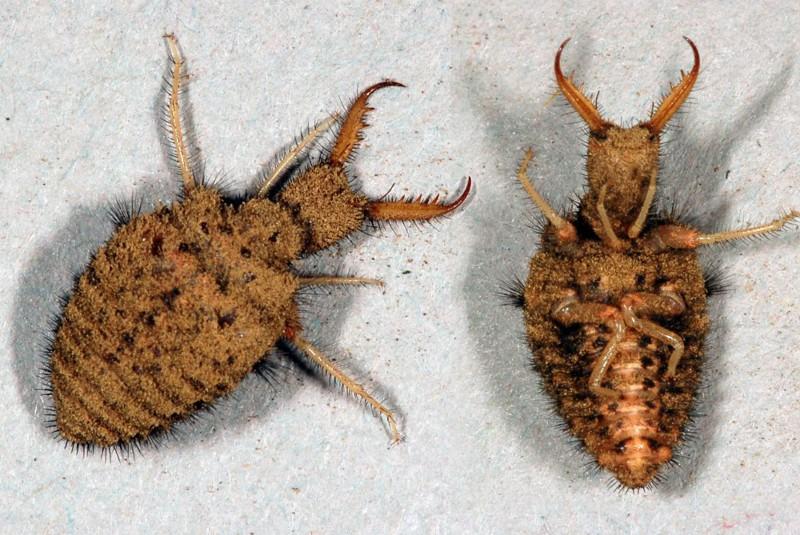 загадочный муравьиный лев фото и описание руки