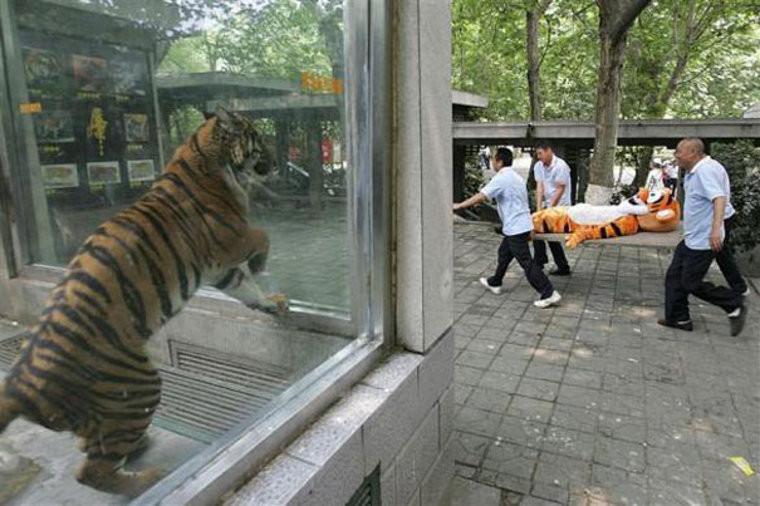 3. Да, здесь можно задать много вопросов, особенно о том, что чувствует тигр слева. идиоты, прикол, странности, фото, фрики, юмор