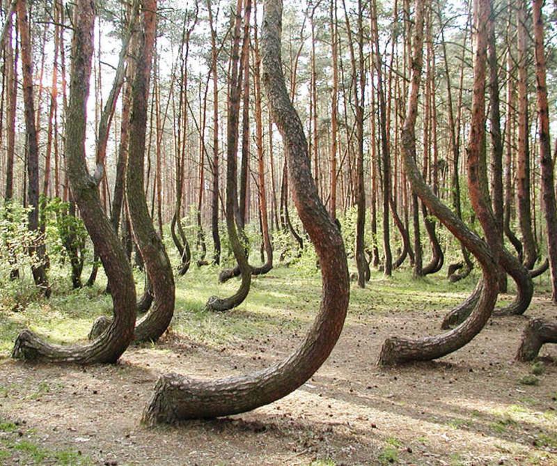 15. 15. Кривой Лес в Польше. Здесь более 400 изогнутых деревьев. мир, природа, странности, фотографии, человек