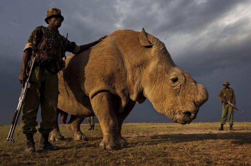 На Земле всего около 3 уникальных белых носорогов. Каждый из них охраняется! животные, интересно, факты