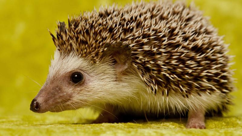 Количество иголок среднестатистического ежа достигает около 10 тысяч. животные, интересно, факты