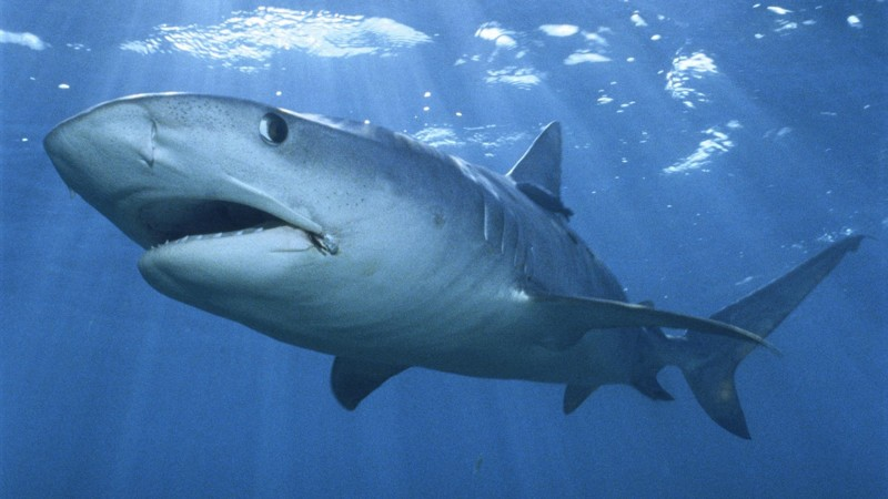 Одни из живых существ на Земле, которые вовсе не болеют – акулы животные, интересно, факты