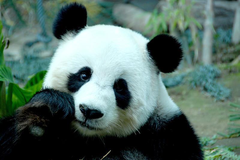 Убийство панды в Китае наказуемо смертной казнью. животные, интересно, факты