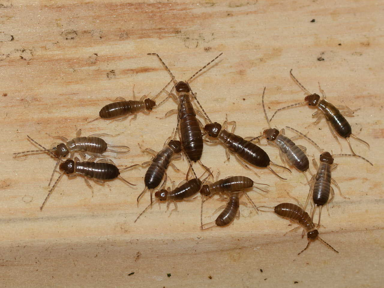 хвостами фото жуки с двумя