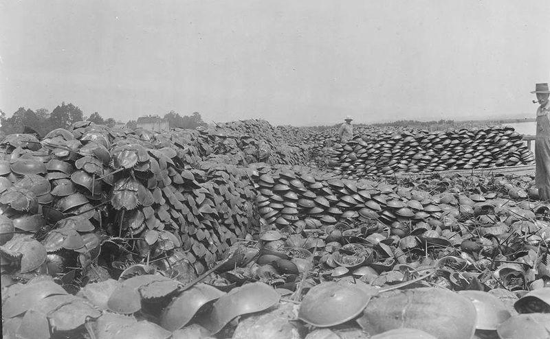 Живые ископаемые. Мечехвост