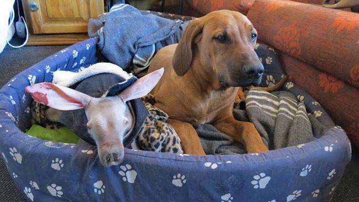 Сначала собаки насторожились, но потом приняли трубкозуба за своего сородича животные, намибия, трубкозуб