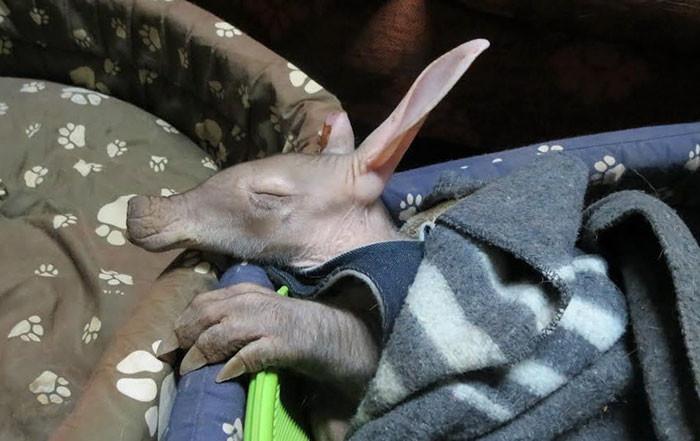 После 5 месяцев жизни в приюте трубкозуба отпустили на волю животные, намибия, трубкозуб