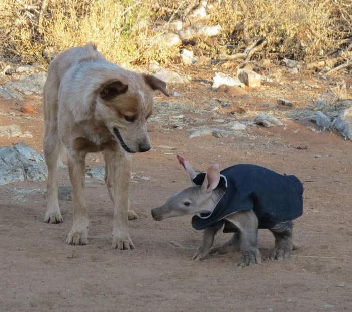 E.T. познакомился и сдружился с другими жителями приюта животные, намибия, трубкозуб