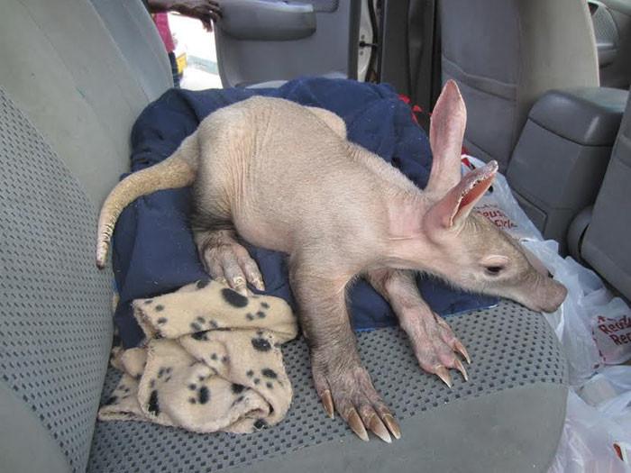Доктор Эрика де Ягер взяла на себя уход за животным животные, намибия, трубкозуб