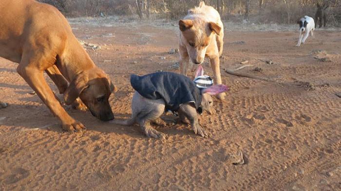 По всей видимости, E.T. тоже считает себя собакой животные, намибия, трубкозуб