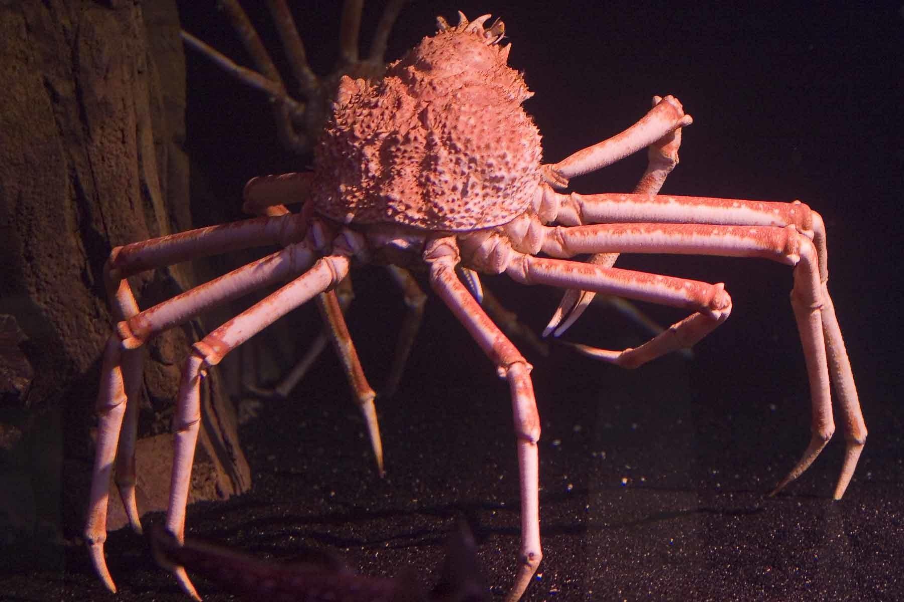 выборе туфель краба паук картинки природа помогает