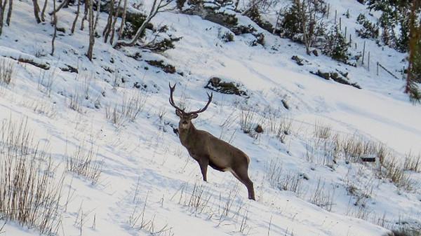 В Норвегии олень ежедневно навещает семью в знак благодарности за спасение благодарность, животные, норвегия, олень, события