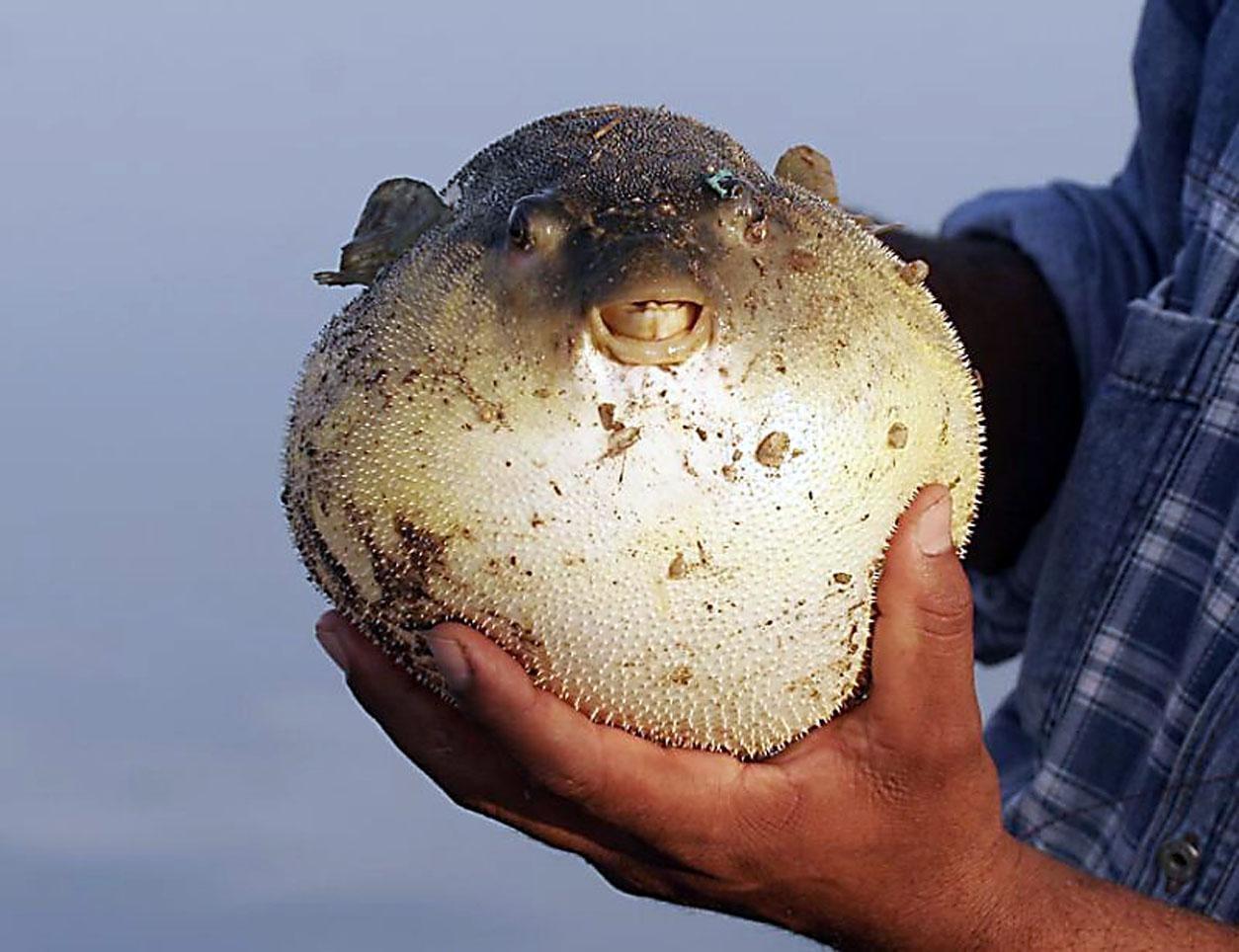 Картинки рыба пузырь