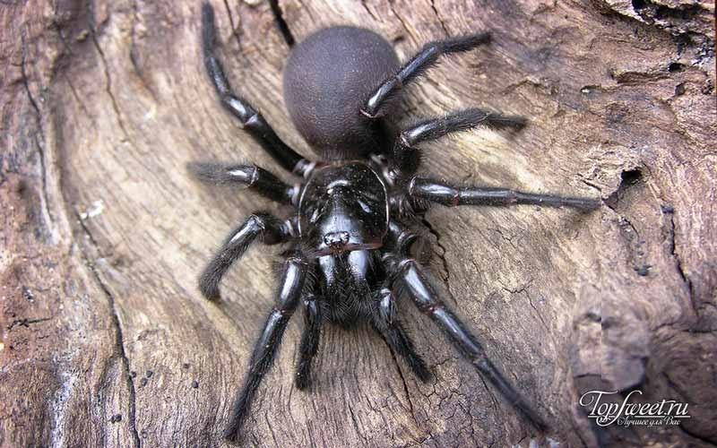 6.Cиднейский лейкопаутинный паук