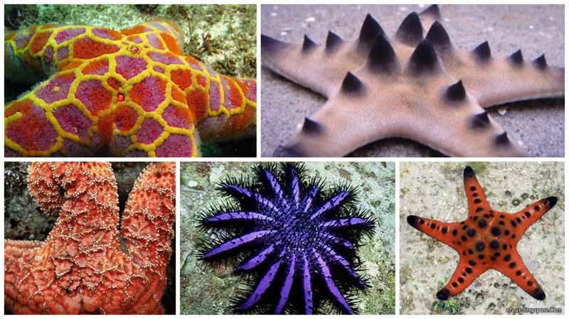 Также это одни из самых древних жителей Земли. Морским звёздам около 250 миллионов лет.