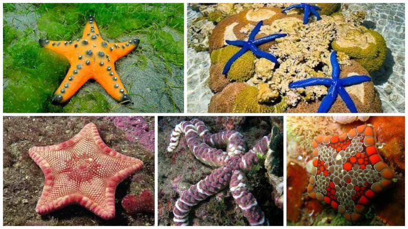 Сердце морских звёзд бьётся с частотой 5-7 ударов в минуту.