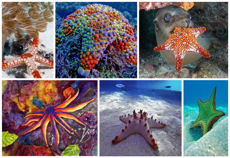 В настоящее время известно около двух тысяч видов морских звёзд.