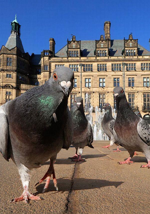 Днем, картинки смешные голуби