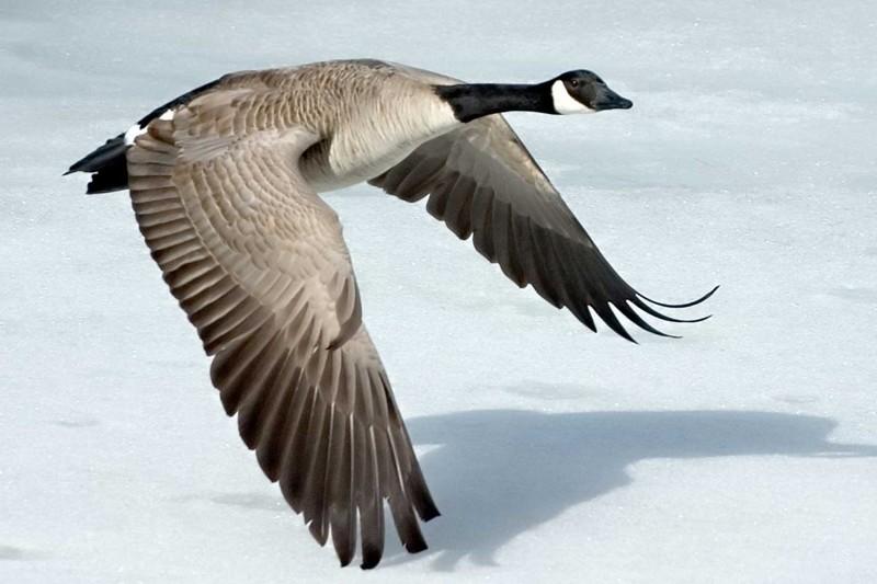 Интересные факты о гусях водоемов, чтобы при опасности уплыть