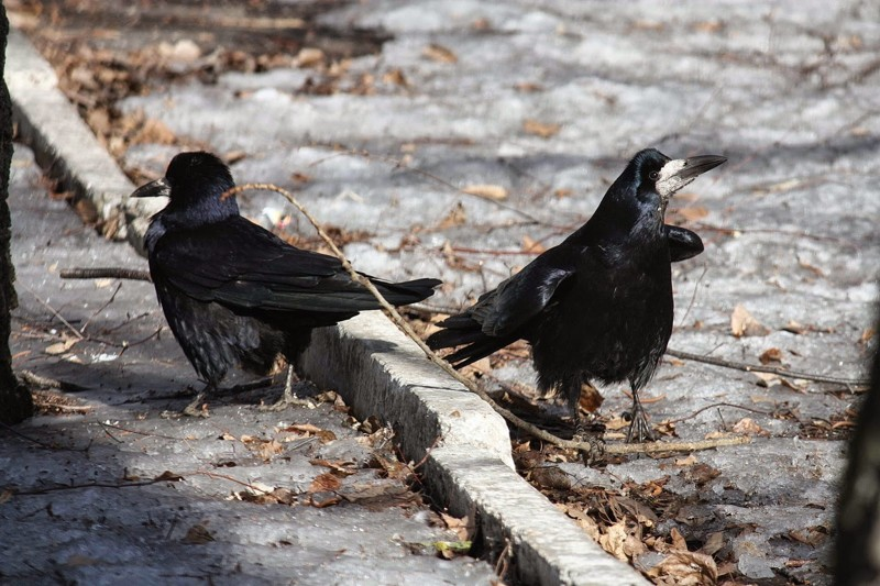 Грач перестает быть перелетной птицей