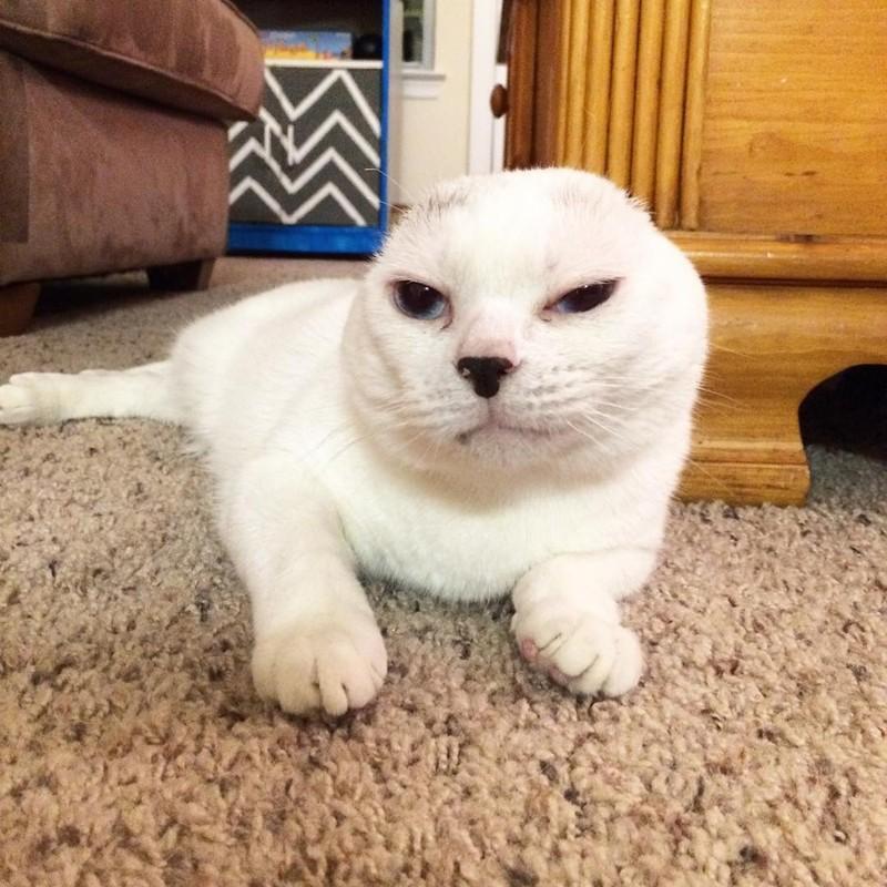 порода кошек без ушей фото могут заняться