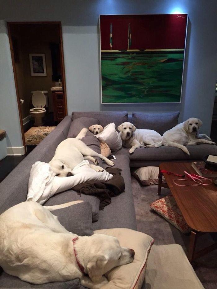 """""""Иногда мне приходится сидеть на полу"""" домашние животные, зоопарк на диване, собаки"""