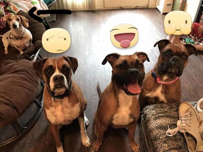 Три боксера и их тренер домашние животные, зоопарк на диване, собаки