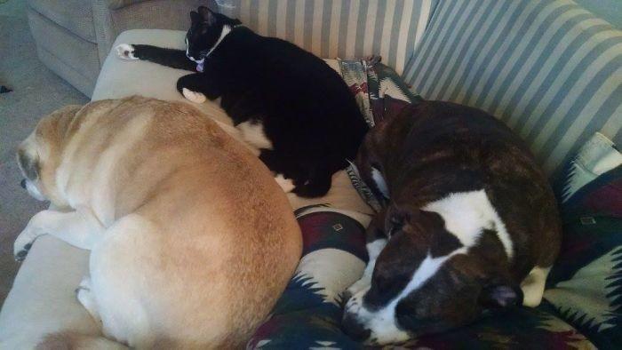 """""""Мой кот тоже считает себя собакой"""" домашние животные, зоопарк на диване, собаки"""